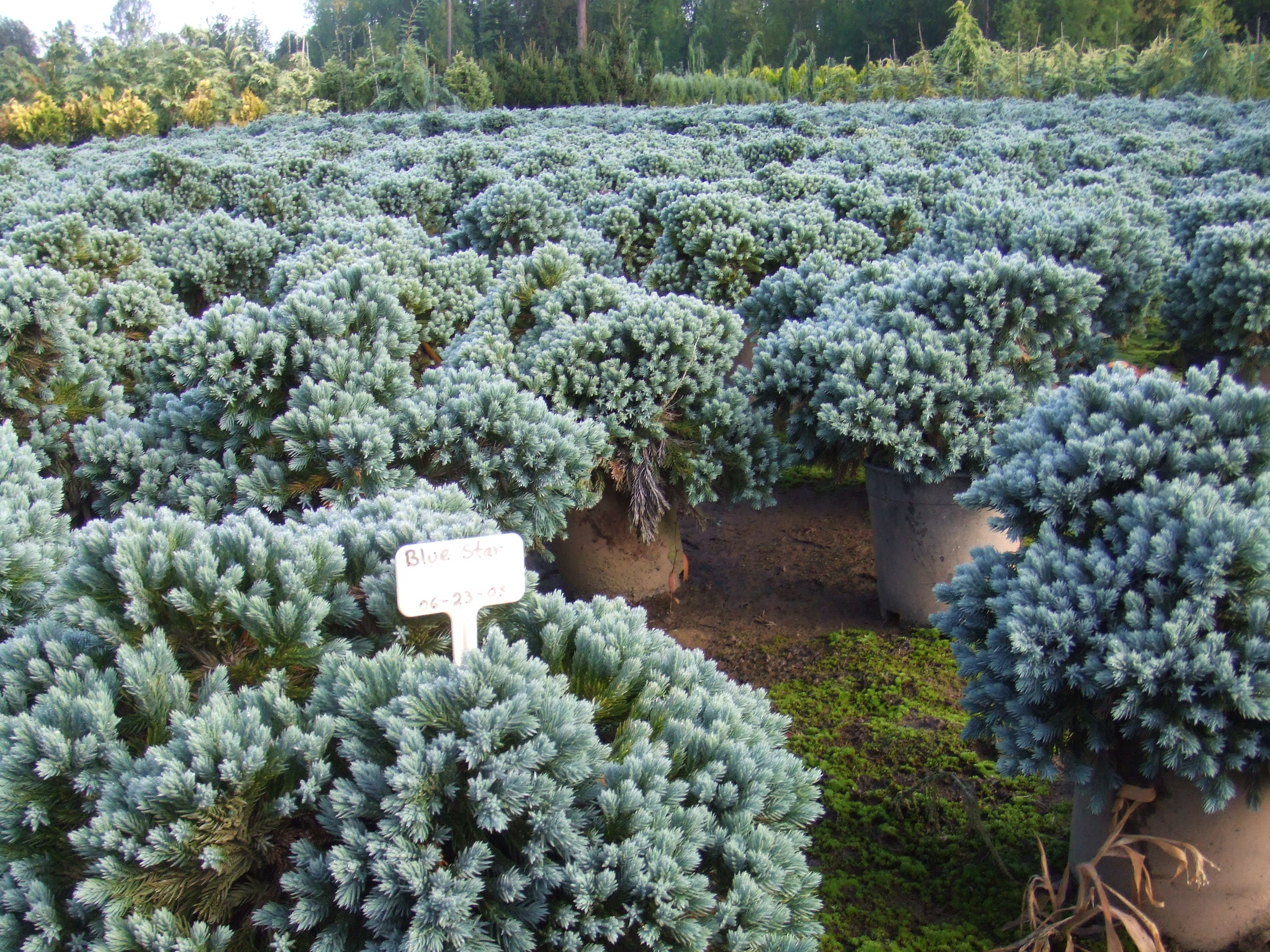 Juniperus chinensis blue star images juniperus squamata blue star reviewsmspy