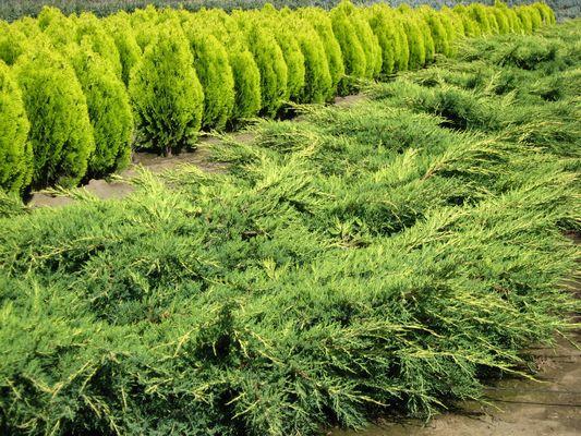 Far West/Juniperus X media 'Saybrook Gold'